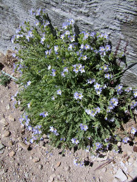 Polemonium pulcherrimum (Mount Scot 2721m) highest point in Crater Lake National Park)