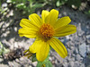 Arnica latifolia (road to Timberline Lodge, from road 26, Mount Hood, Oregon)