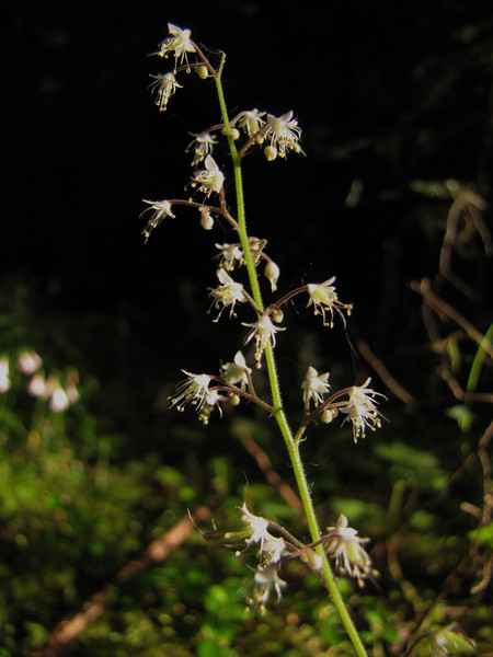 Tiarella trifoliata var. unifoliolata (Lost Creek Campsite, Mount Hood, Oregon)
