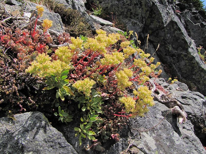 Sedum oregonense? (between Bigelow Lake and  Mount Elijah 1929m, Oregon Caves National Monument)