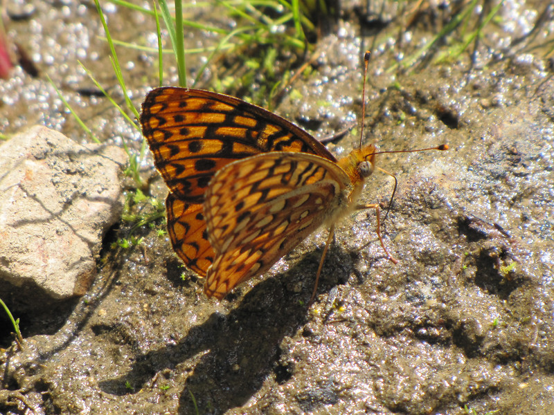 Phyciodes orseis, California Crescent, (Trailhead Bigelow Lakes, Oregon Caves National Monument)