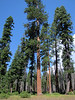 Pinus ponderosa (3 needles) (south of Masama Village, Oregon)