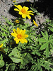Arnica latifolia (road to Timberline Lodge, from road 26, Mount Hood, Oregon)
