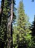 Thuja plicata, Western Redcedar ? (Big Tree Trail, Oregon Caves National Monument)