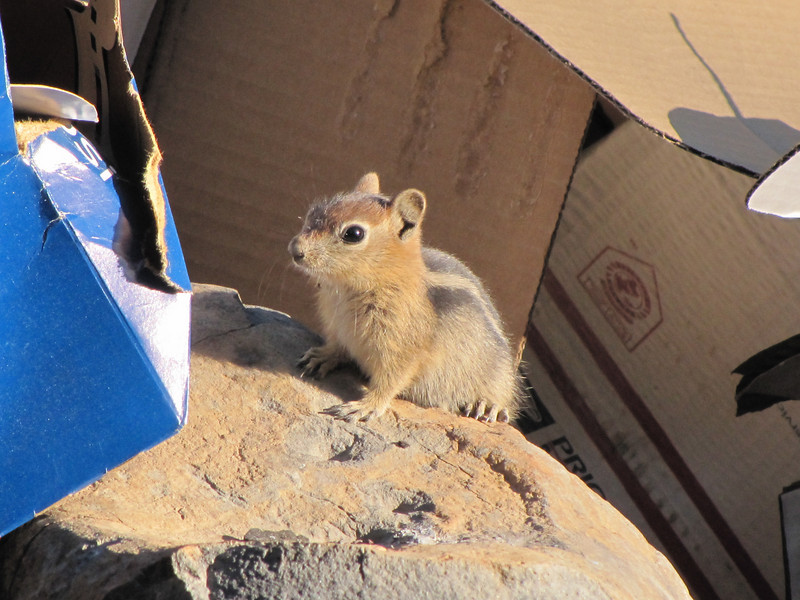 Spermophilus lateralis, juv. Golden-mantled Ground Squirrel, near Lake Lemolo (junc. road 138)