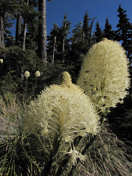 Xerophyllum tenax (just on road to Timberline Lodge, from road 26, Mount Hood, Oregon)