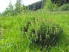 Kalmia microphylla (Bigelow Lakes Trail, Oregon Caves National Monument)