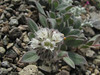 Phacelia hastata (Cloudcap, Crater Lake National Park, Oregon)