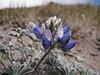 Lupinus lepidus var. lobii (Mountaineer Trail, Mount Hood, Oregon)