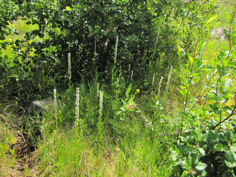 Platanthera dilatata var. dilatata (Trailhead Bigelow Lakes, Oregon Caves National Monument)