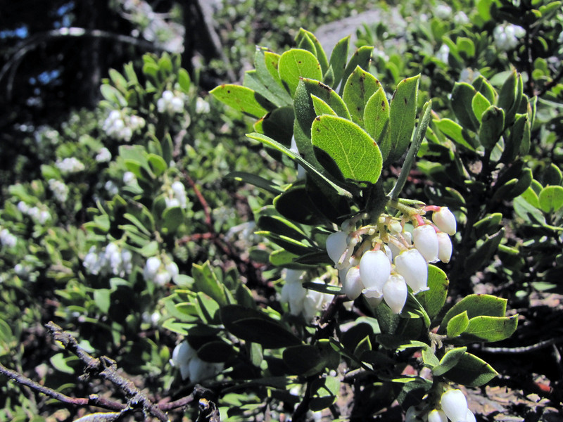 Arctostaphyllos uva-ursi, descent of Mount Scot