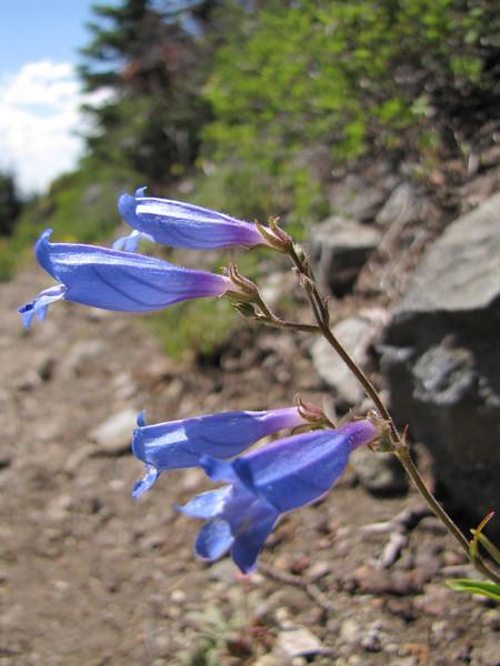 Penstemon spec. (between Bigelow Lake and Mount Elijah, Oregon Caves National Monument)