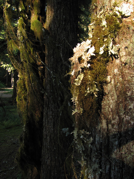 Lichen, (Lost Creek Campsite, Mount Hood, Oregon)