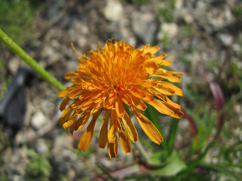 Agoseris aurantiaca, (road to Timberline Lodge, from road 26, Mount Hood, Oregon)