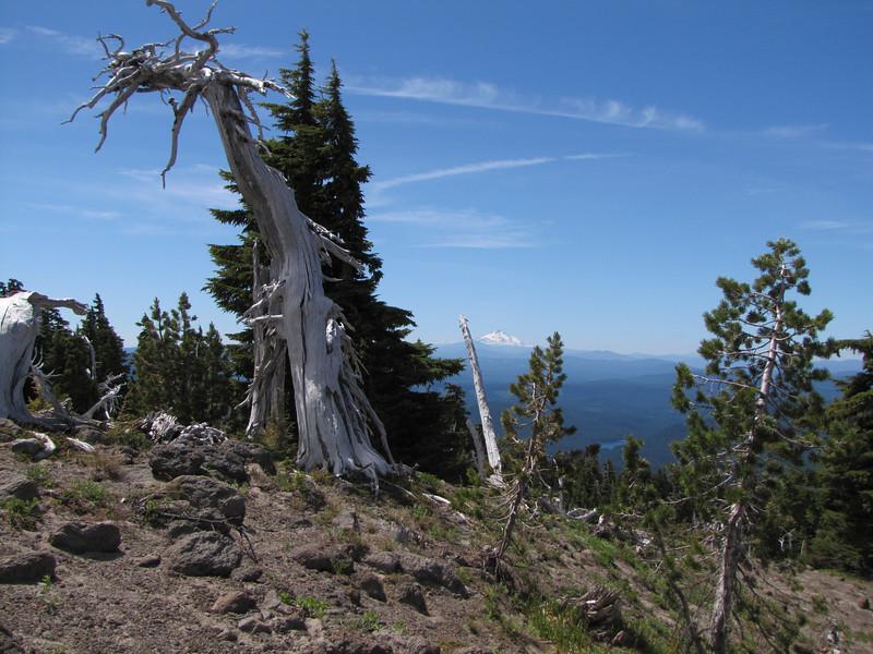 Tsuga mertensiana, Treeline (Mountaineer Trail, Mount Hood, Oregon) in the background Mt. Rainier 4342m Washington