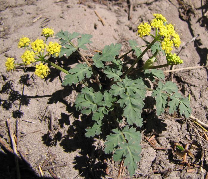 Lomatium martindalei. (Mountaineer Trail, Mount Hood, Oregon)