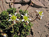 Saxifraga tolmiei (near Mount Scott 2721m , Crater Lake National Park)