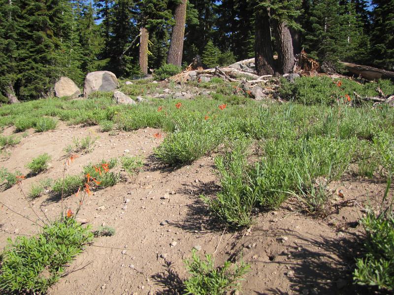 Ipomopsis aggregata (syn. Gilia aggregata)  near Union Creek (road 62)