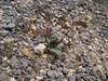Lomatium martendalei in seed  (Cloudcap, Crater Lake National Park, Oregon)