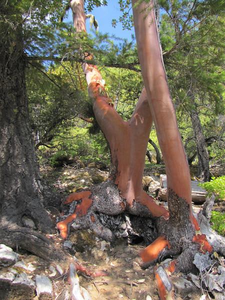 Arbutus menziesii (Big Tree Trail, Oregon Caves National Monument)