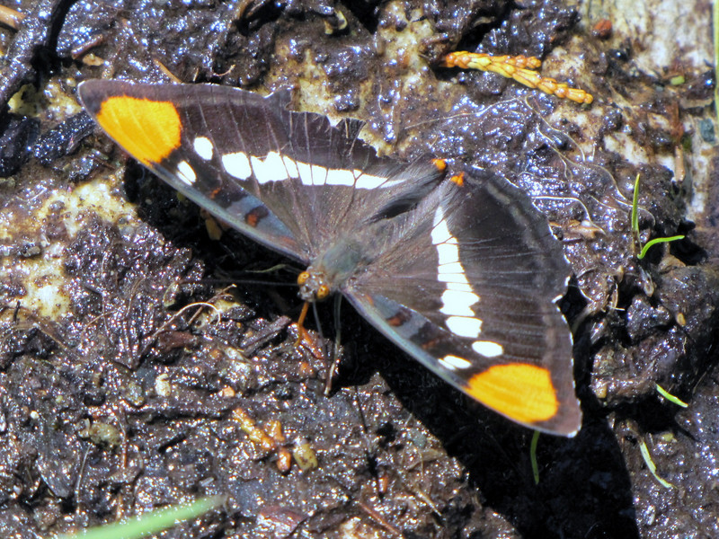 Adelpha bredowii, California Sister, Oregon Caves National Monument