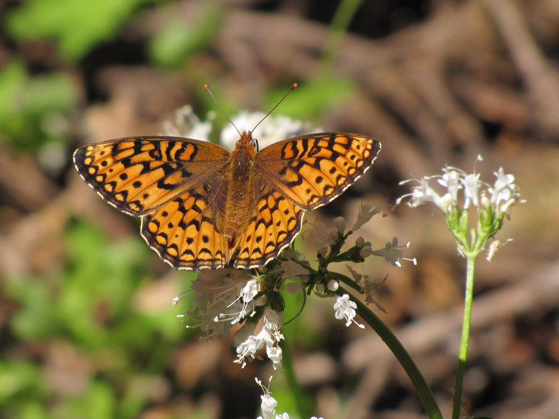 Speyria Cybele, Great Spangled Fritillary (between Bigelow Lake and  Mount Elijah 1929m, Oregon Caves National Monument)
