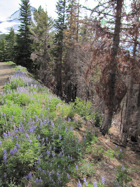 Lupinus spec. (along dirt road to Cloud Cap Campground, Mount Hood)