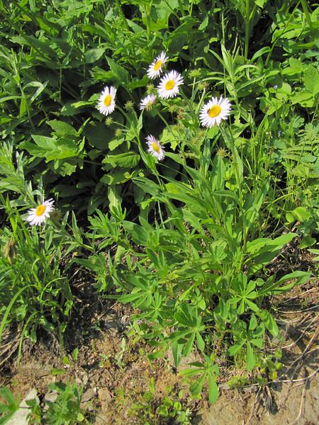 Erigeron spec. (between Hidden Lake Trailhead and Hidden Lake, North Cascades National Park, Washington)