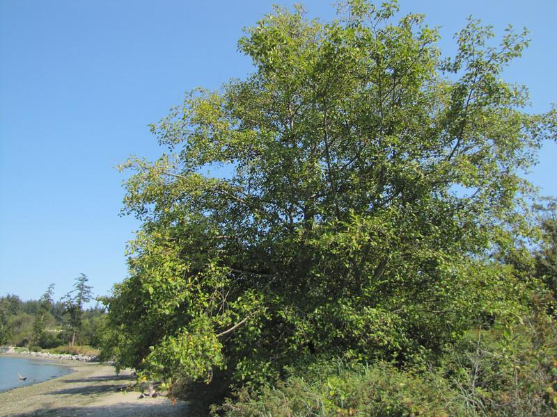Alnus rubra (near Annacortes, Pacific Ocean, Washington)