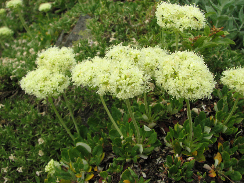 Eriogonum spec. (Sauk Mountain Mount Baker-Snoqualmie Natonal Forest, Washington)(photo K.J.)