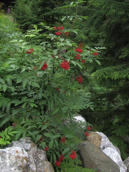 Sambucus racemosa (Mount Baker area, Washington)