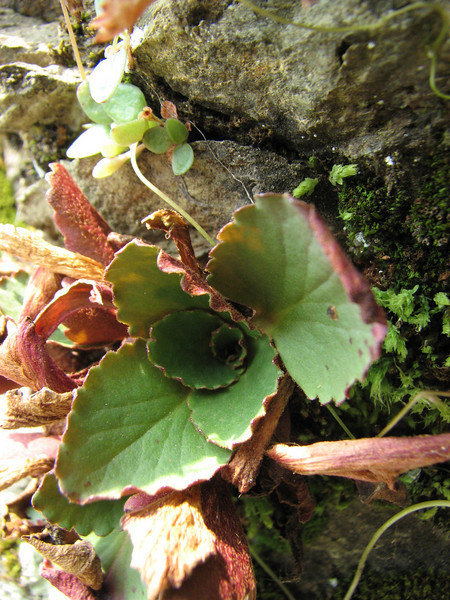 Micranthes rufidula (between Sauk Mountain trailhead and Sauk Mountain, Mount Baker-Snoqualmie Natonal Forest, Washington)(photo Kees Jan)