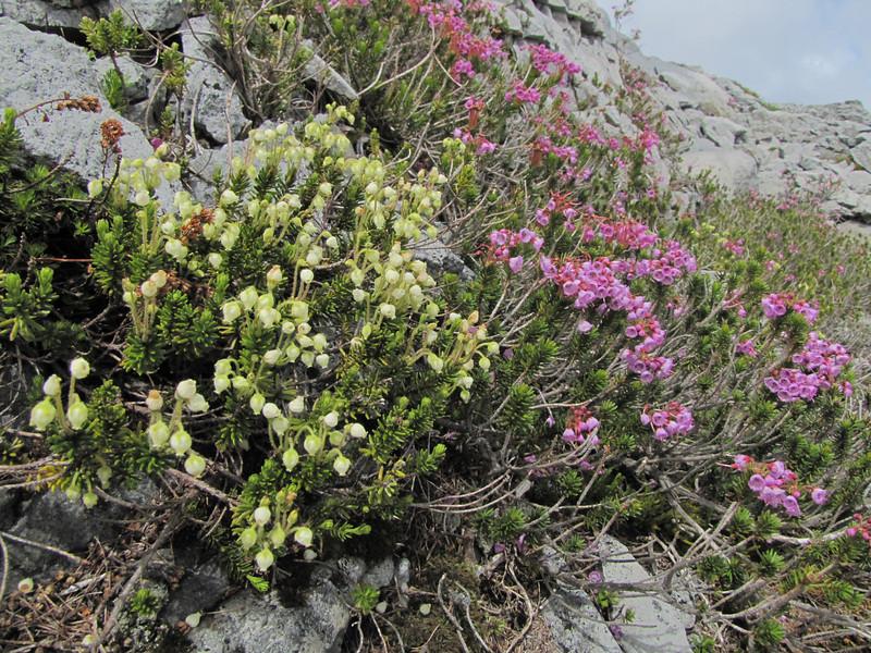 Phyllodoce glanduliflora and Phyllodoce empetriformis (Ptarmigan Trail, Mount Baker, Washington)