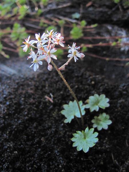 Micranthes nelsoniana ssp. cascadensis (between Hidden Lake Trailhead and Hidden Lake, North Cascades National Park, Washington)