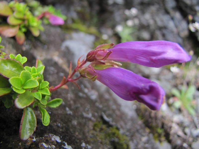 Penstemon davidsonii (Ptarmigan Trail, Mount Baker, Washington)