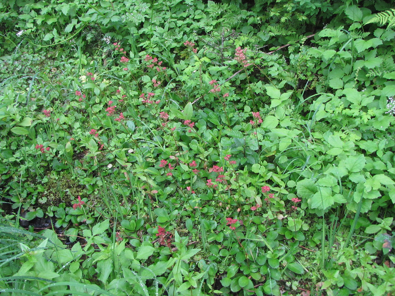 Leptarrhena pyrolifolia (Skyline Divide Trail, near Mount Baker, Washington)