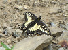 Papilio zelicaon, Anise Swallowtail, (Sauk Mountain, Mount Baker-Snoqualmie Natonal Forest, Washington)
