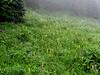 Pedicularis bracteosa (Between trailhead Skyline Divide Trail and Skyline Divide Trail, near Mount Baker, Washington)