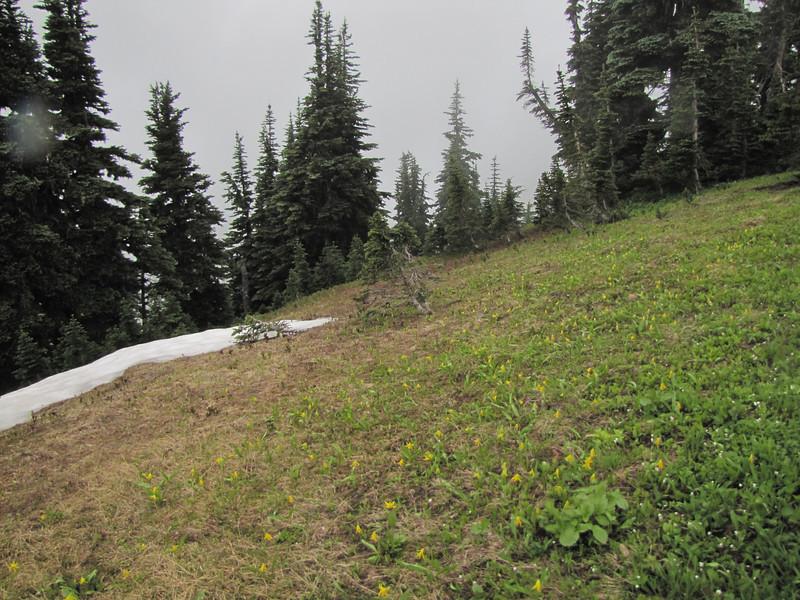 habitat, left Erythronium grandiflorum and right, Claytonia lanceolata they all grows near snow fields (Skyline Divede Trail, near Mount Baker, Washington)