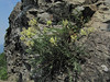 Oxytropis monticola (between Sauk Mountain trailhead and Sauk Mountain, Mount Baker-Snoqualmie Natonal Forest, Washington)