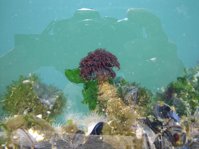 Sea Anemones, harbour Annacortes, Washington