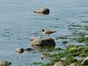 Calidris spec. Sandpiper spec. (NL: Amerikaanse oeverloper) (Bayview, NW of Mount Vernon, Pacific Ocean, Washington)