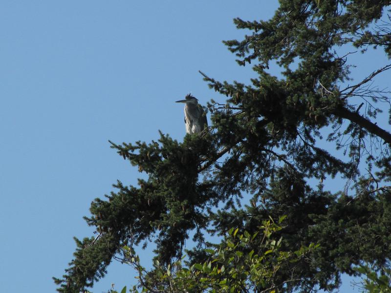 Ardea herodias, Great Blue Heron in tree of Pseudotsuga menziesii  (Bayview, NW of Mount Vernon, Washington)