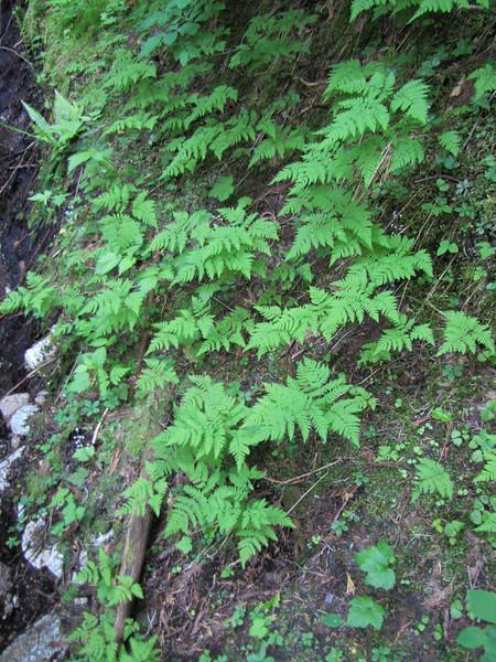 Gymnocarpium spec. (between Hidden Lake Trailhead and Hidden Lake, North Cascades National Park, Washington)