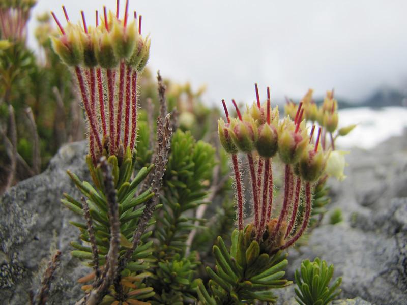 Phyllodoce empetriformis in fruit (Ptarmigan Trail, Mount Baker, Washington)