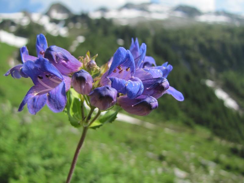 Penstemon ovatus (between Hidden Lake Trailhead and Hidden Lake, North Cascades National Park, Washington)