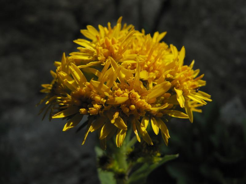 Senecio integerrimus? (between Sauk Mountain trailhead and Sauk Mountain, Mount Baker-Snoqualmie Natonal Forest, Washington)