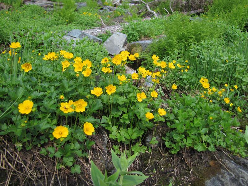 Potentilla spec. (between Hidden Lake Trailhead and Hidden Lake, North Cascades National Park, Washington)