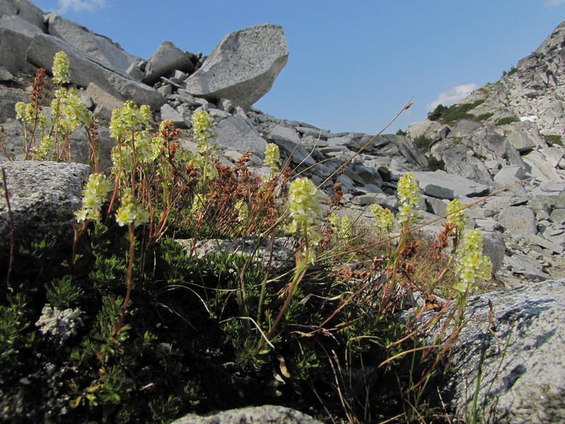 Luetkea pectinata (between Hidden Lake Trailhead and Hidden Lake, North Cascades National Park, Washington)