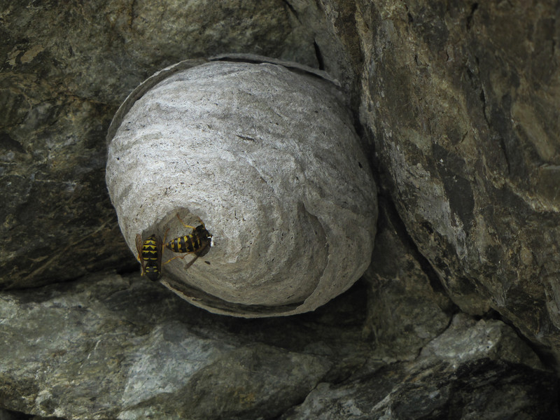 Paravespula vulgaris [wasp] nest (between Sauk Mountain trailhead and Sauk Mountain, Mount Baker-Snoqualmie Natonal Forest, Washington)